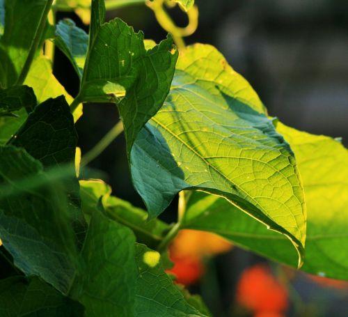 Backlight On Squash Leaves