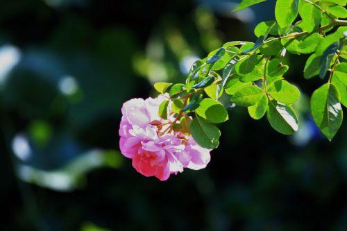 Back Lit Pink Rose