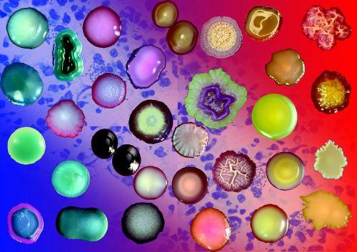 bacteria colonies gram stain