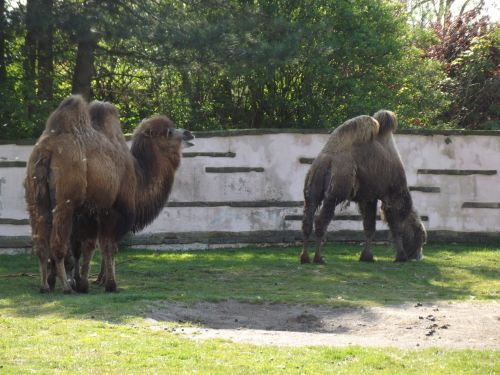 Bactrian Camels