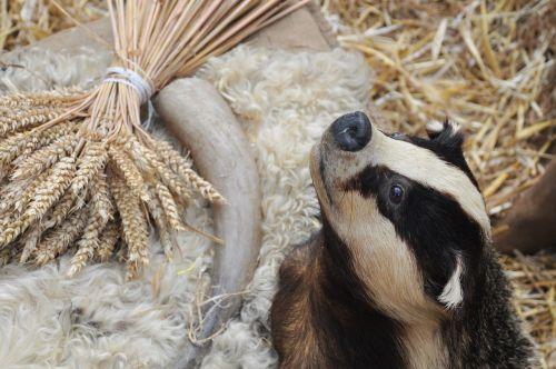 badger taxidermy animal
