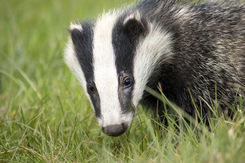 badger wildlife english