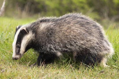 badger brock animal
