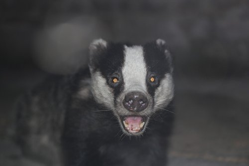 badger  animal  wildlife