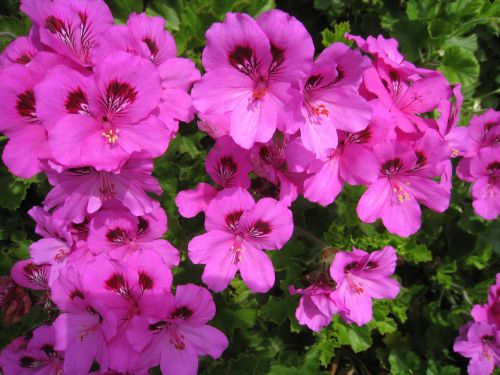 bae largo nyumu pink flowers