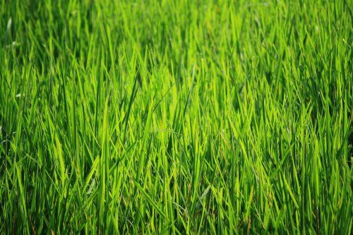 bakground green green green rice fields