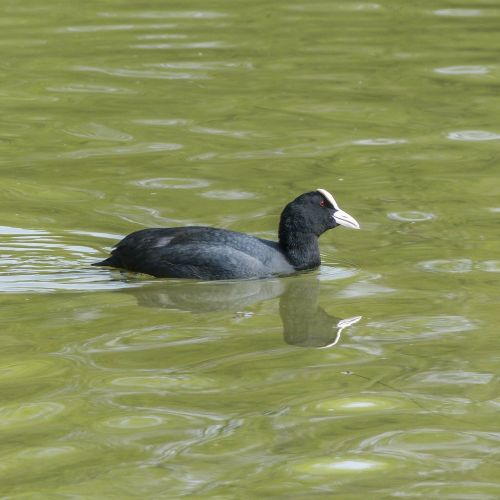 bald coot coot american coot
