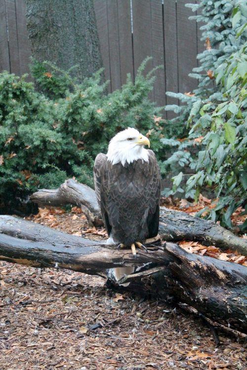 Bald Eagle - 01