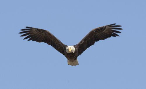 bald eagle soaring bird