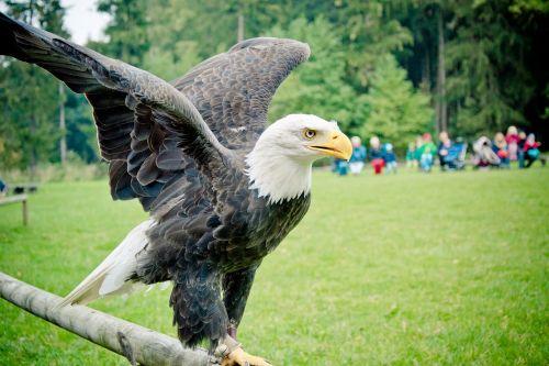 bald eagle adler raptor