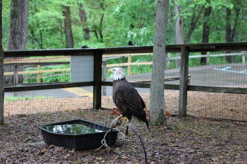 bald eagle bird caged