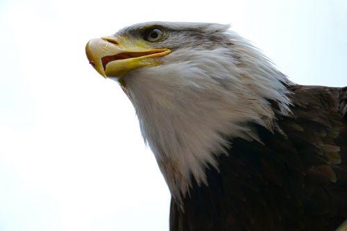bald eagle usa america