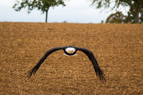 bald eagle fly in flight