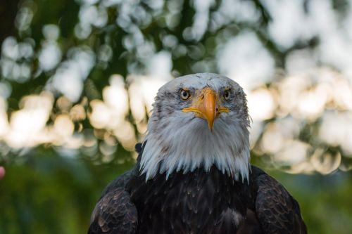 bald eagle haliaeetus leucocephalus adler