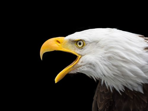 bald eagle raptor head