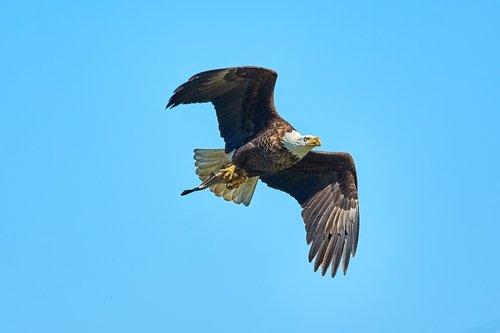 bald eagle  eagle  america