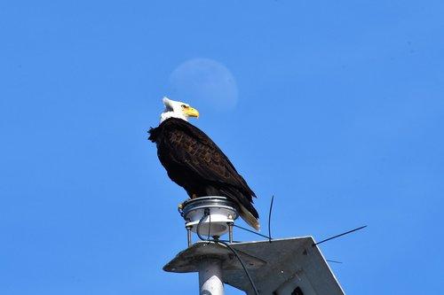 bald eagle  bird  animal