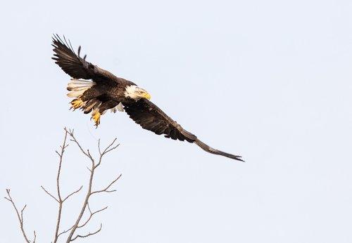 bald eagle  flying  sky