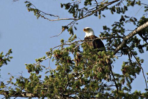 bald eagle bird raptor
