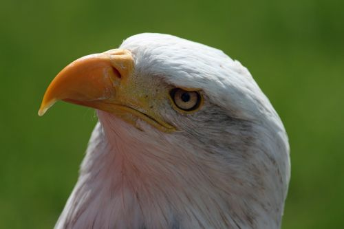 bald eagle bill head