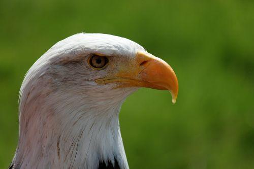 bald eagle portrait white tailed eagle
