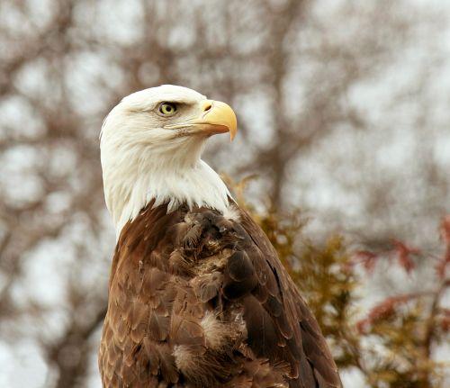 Bald Eagle Looking Backwards