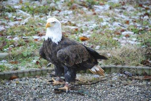 bald eagles raptor bird of prey