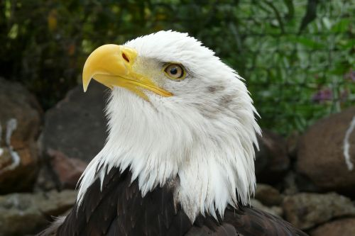 bald eagles raptor heraldic animal