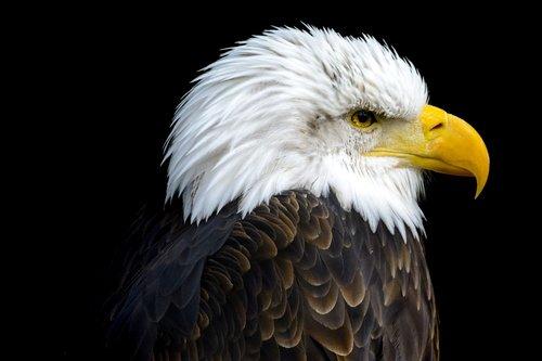 bald eagles  bald eagle  adler