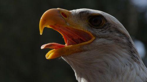 bald eagles usa raptor