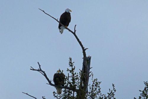 bald eagles tree landed