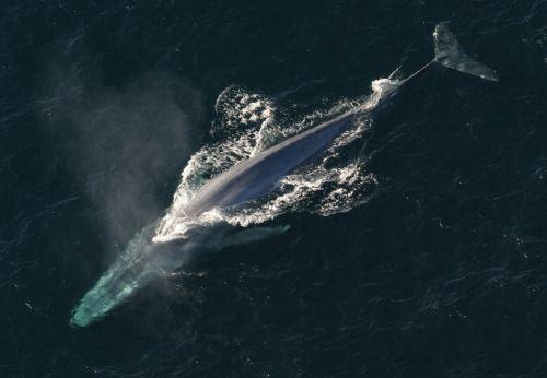 Blue Whale, Blue Whale