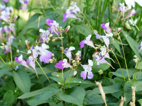 balfour jewelweed impatiens balfourii flower