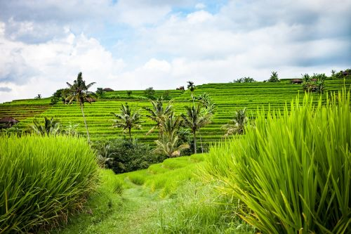 bali rice terraces landscape