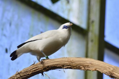 bali starling bird exotic bird