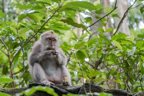 balinese long tailed macaque  macaque  monkey
