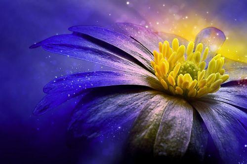 balkan anemone flower blossom