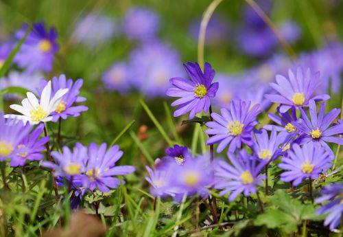 balkan anemone anemone flowers