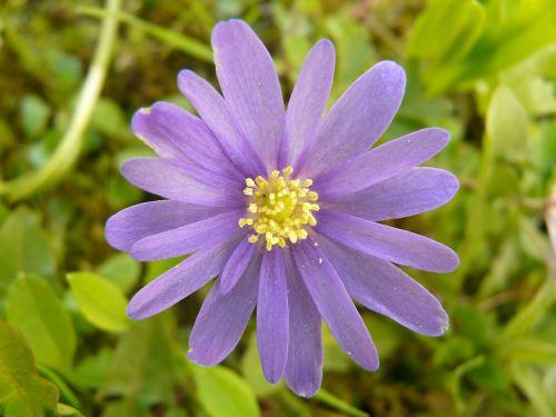 balkan anemone anemone blanda anemone