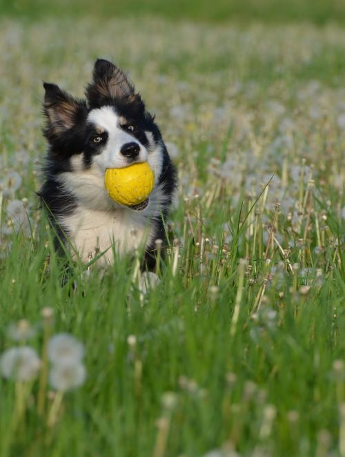 ball flower meadow border collie