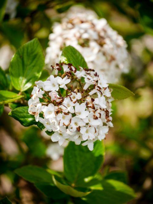 ball flower bush blossom