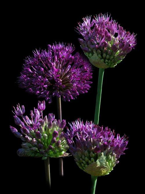 ball leek  ornamental onion  nature