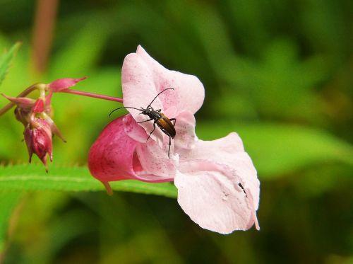 balsam indian springkraut himalayan balsam