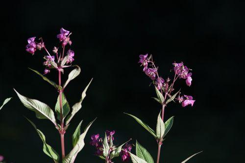 balsam balsaminengewaechs himalayan balsam
