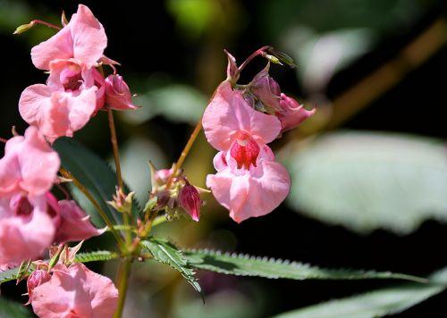 balsam ornamental plant balsaminengewaechs