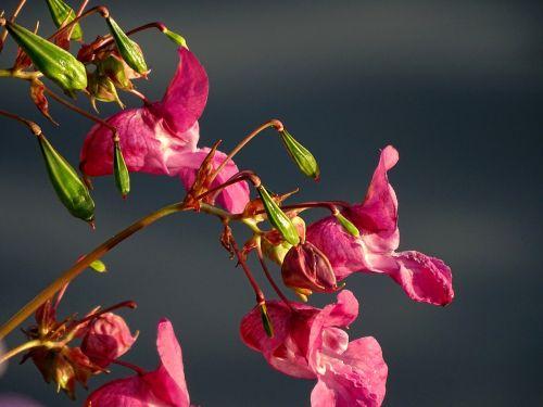 balsam pink indian springkraut