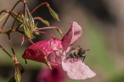 balsam bee nectar