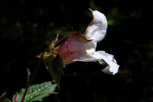 balsam  white  blossom