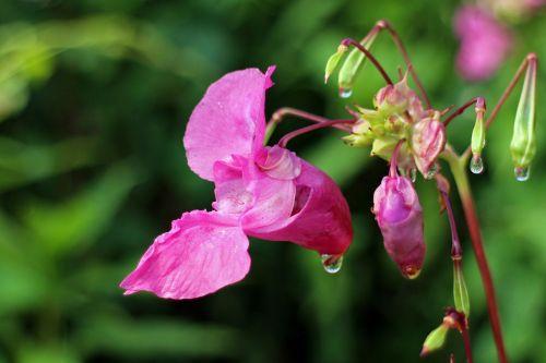 balsam flower blossom