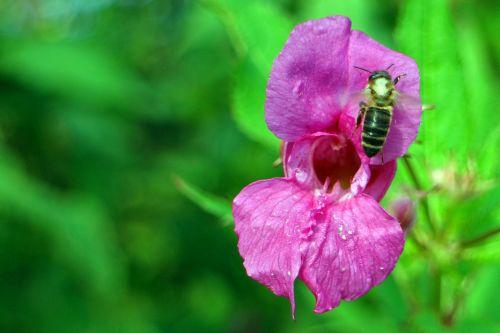 balsam himalayan balsam impatiens glandulifera